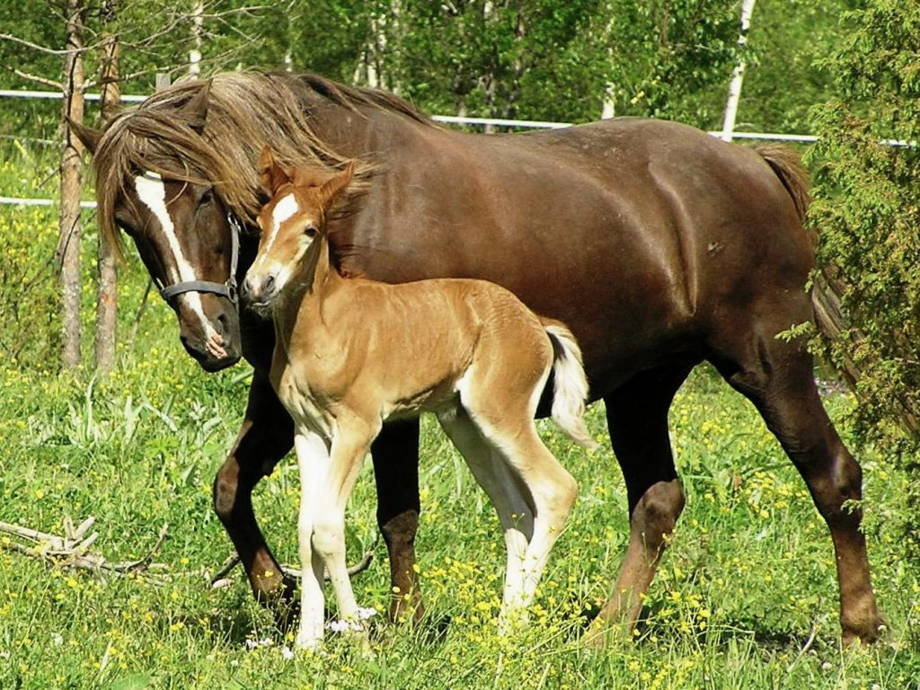 Finnhorse_mare_with_foal